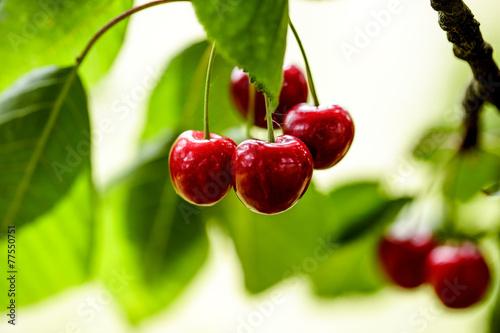 Canvas Summer Cherries