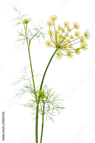 flowers of dill on white background