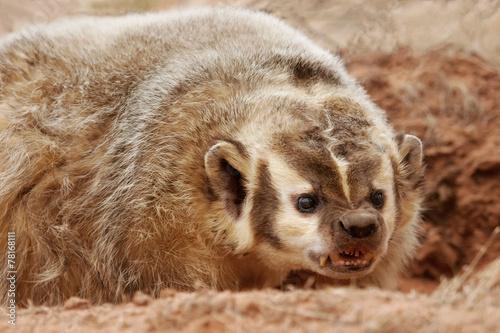 Slika na platnu American badger (Taxidea taxus)