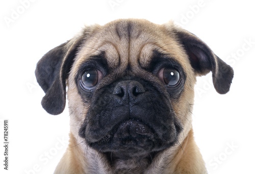 Wallpaper Mural Crying Pug Dog closeup over white background
