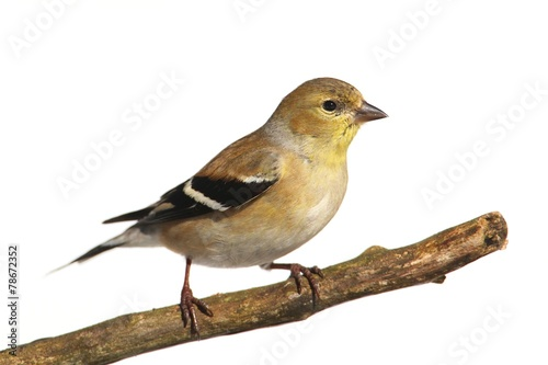 Canvas-taulu American Goldfinch (Carduelis tristis)