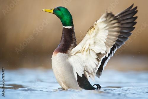 Fotografering a wild duck