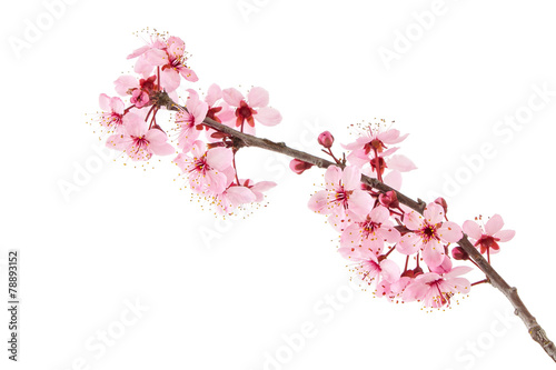 Canvas-taulu Cherry Blossoms