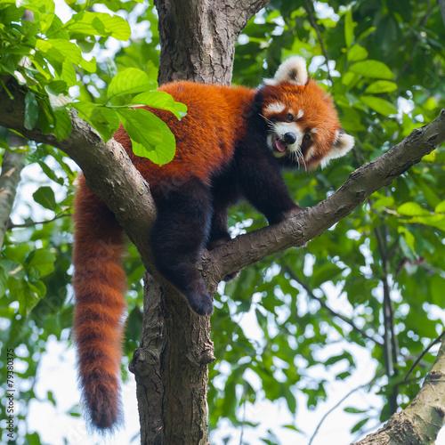 Fototapeta Red panda bear climbing tree
