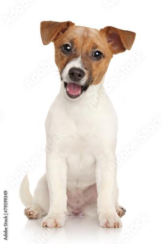 Jack Russell terrier puppy. Portrait on white background Fototapeta