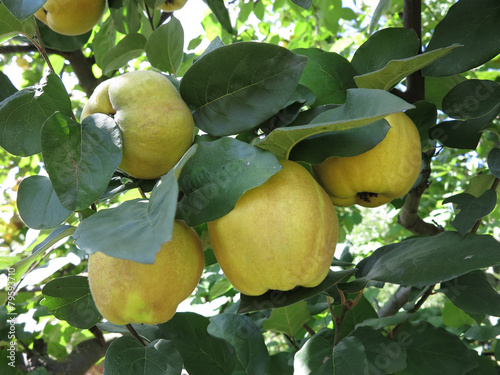 Rich harvest - juice ripe yellow quinces hanging on branch Poster Mural XXL