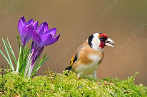 Carta da parati Goldfinch standing next to crocus