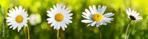Kwiaty białej stokrotki.