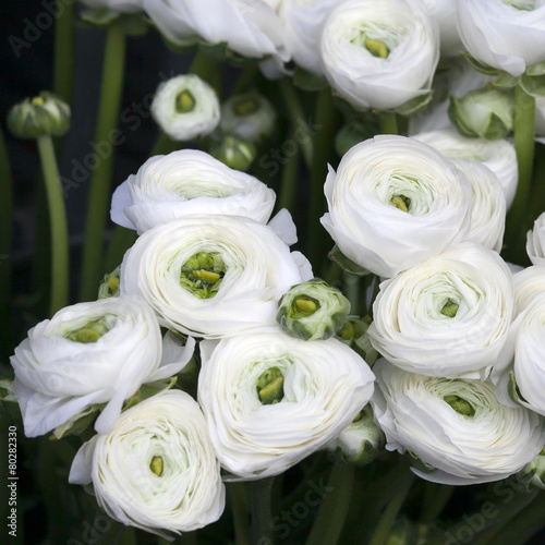 Photo White ranunculus (persian buttercup)