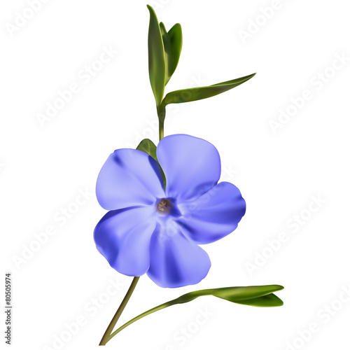 Obraz na płótnie Periwinkle flower