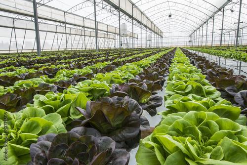 Fotografiet Lettuce crops in greenhouse