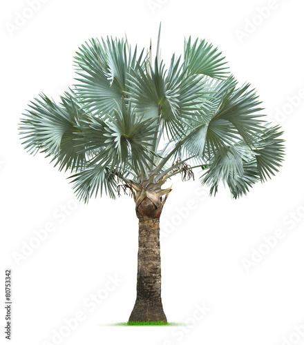 Obraz na płótnie Bismarck Palm Tree
