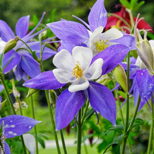 Columbine flower Fototapeta