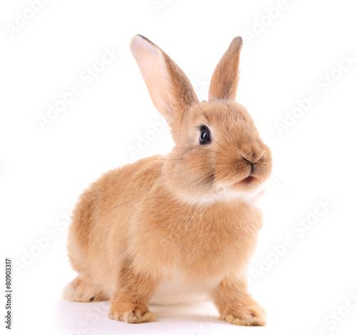 Little rabbit isolated on white