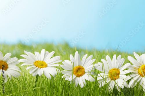 Chamomiles  in grass