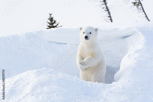 Polar bear  cub coming out den and standing up looking around.