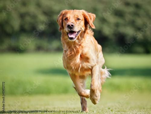 Fotografia Golden retriever dog