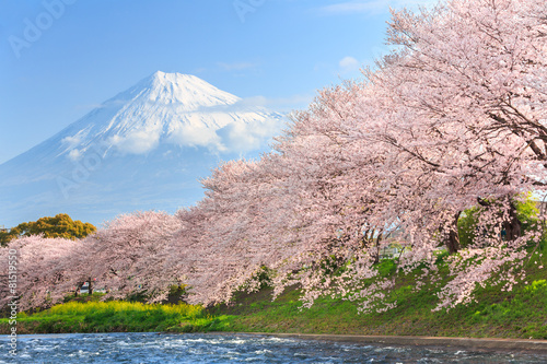 Cherry blossoms or Sakura and Mountain Fuji in background #81519550