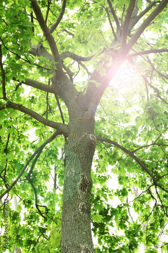 Beautiful tree with sun rays