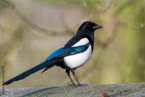 Photo Eurasian magpie - Pica pica