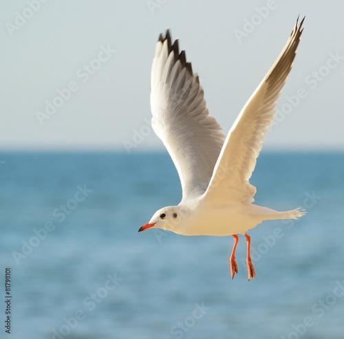 Obraz na płótnie seagull in flight against the blue sky