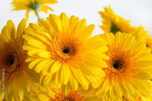 Fotografie, Obraz Yellow gerbera flowers