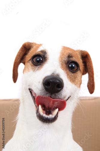 Fotografia jack russell terrier