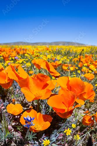 Obraz na plátně California Poppies -Eschscholzia californica
