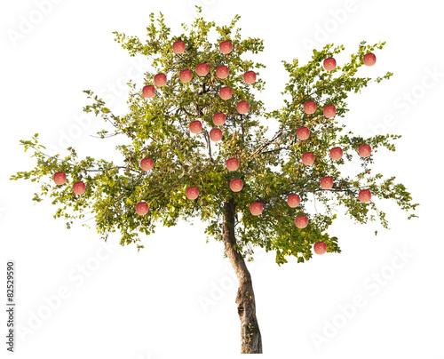 Obraz na plátne apple tree with large pink fruits on white