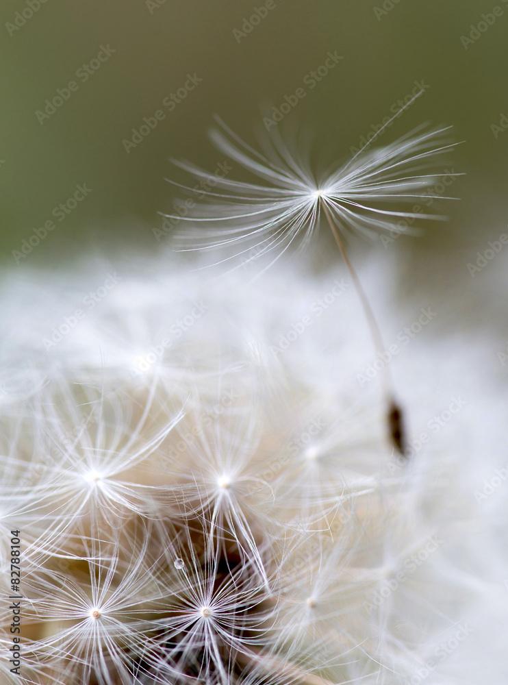dandelion z bliska na naturalnym tle <span>plik: #82788104 | autor: TTLmedia</span>