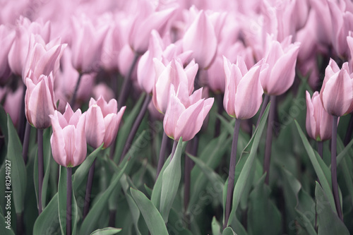 Many soft violet colored tulip flowers
