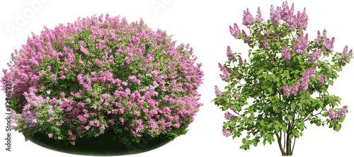 Fotografija Lilac bush