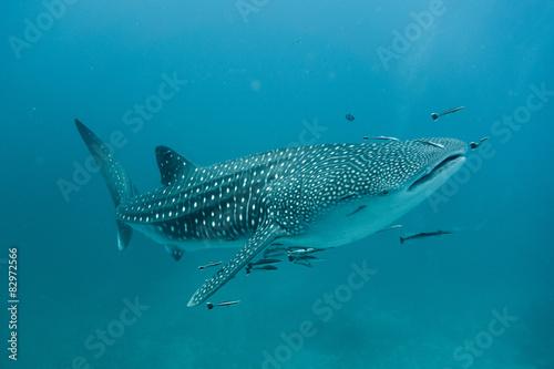 Fototapeta premium Rekin wielorybi