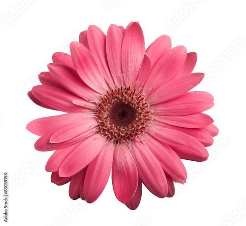 Fototapeta Pink gerbera