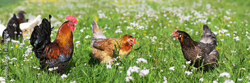 Canvas Print Chicken on the meadow