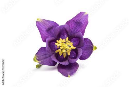 Fotografija aquilegia flower isolated
