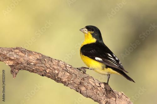 Valokuva Lesser goldfinch en una rama posado
