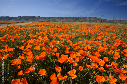 california poppy #83225715