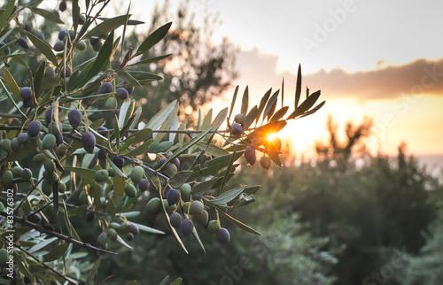 Stampa su Tela Olive trees on sunset