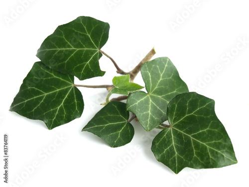 Carta da parati Common ivy