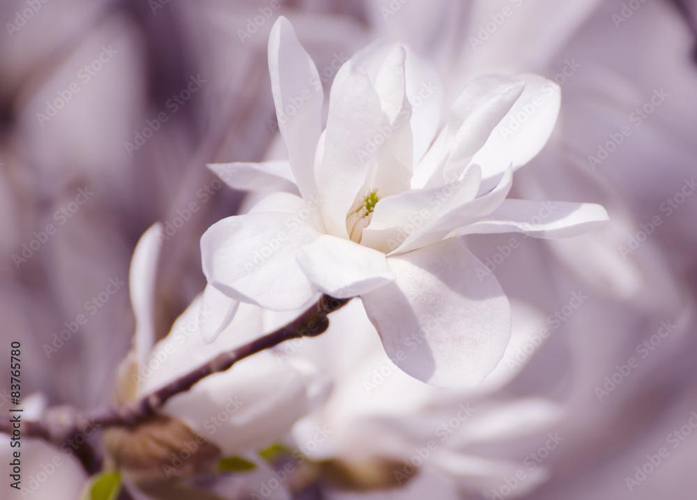 Magnolia białe kwiaty <span>plik: #83765780   autor: Roxana</span>