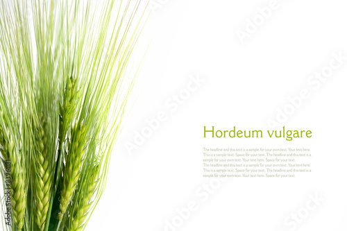 bouquet of green barley ears isolated on white background, sampl Fotobehang