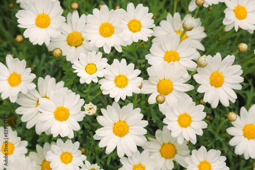 Fotografia Magic sunny daisy flowers background