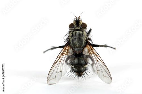 Stehende Mücke von hinten