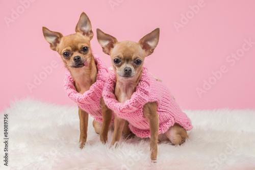 Fototapeta Oblečené roztomilý čivava psů v růžové pletené svetry a na růžovém pozadí