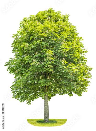 Chestnut tree isolated on white background. Blosoming spring pla