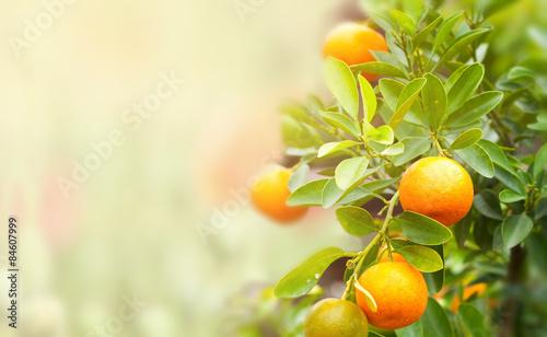 Fotografia, Obraz mandarin fruits on a tree