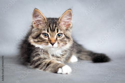 Fototapeta Portrét ležící kočky
