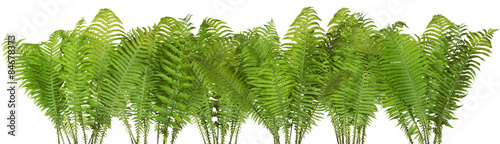 Forest wild fern isolated border