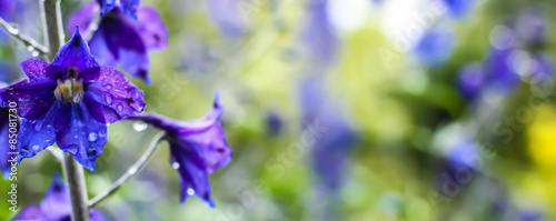 Violet flowers with dew drops #85081730